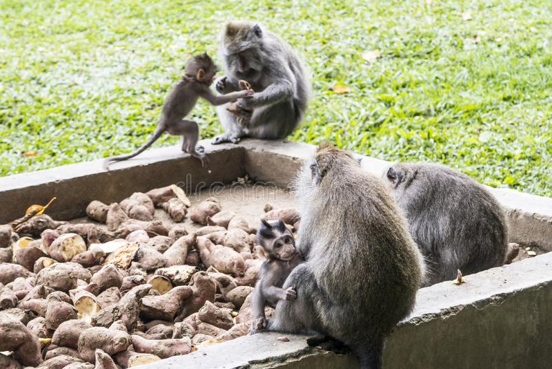Monkeys in Sangeh Monkey Forest in Bali, Indonesia royalty free stock images