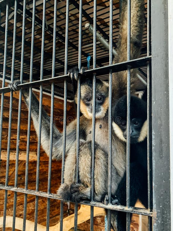Two monkeys sit in a cage in captivity zoo. Monkeys sit in a cage in captivity zoo royalty free stock image