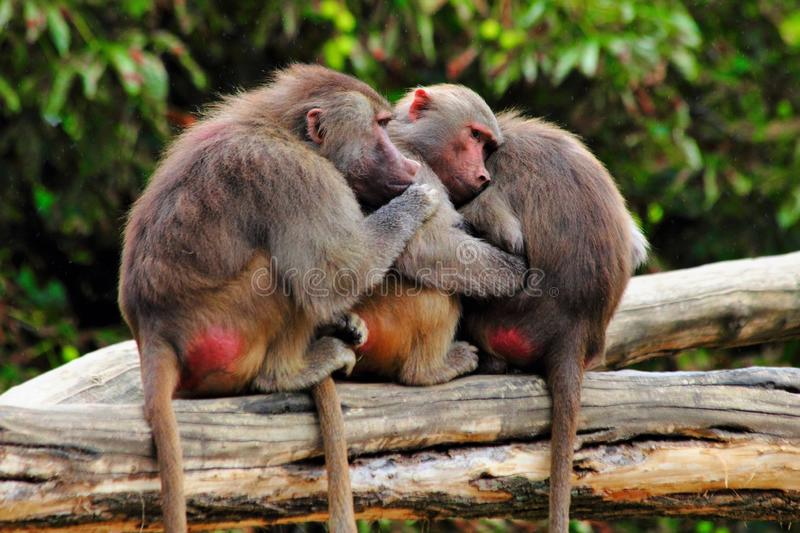 Monkeys together in zoo stock photo