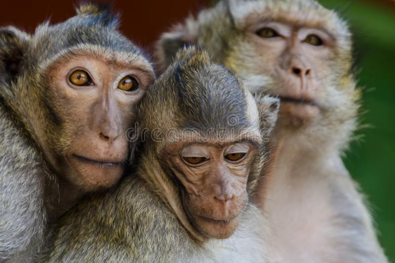 The monkeys of Wat Leu Temple Sihanoukville Cambodia. Couple of monkeys with their son at the time wat leu sihanoukville cambodia royalty free stock photo