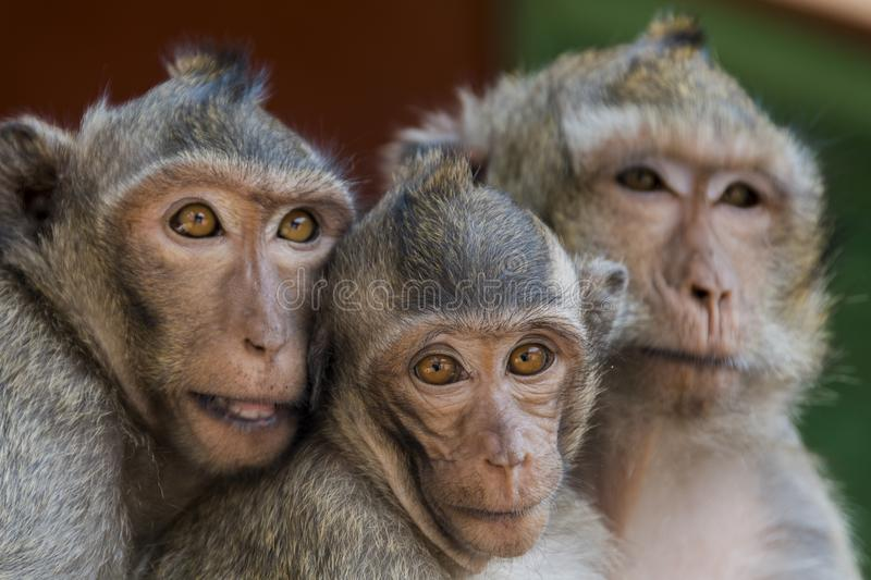 The monkeys of Wat Leu Temple Sihanoukville Cambodia. Couple of monkeys with their son at the time wat leu sihanoukville cambodia stock image