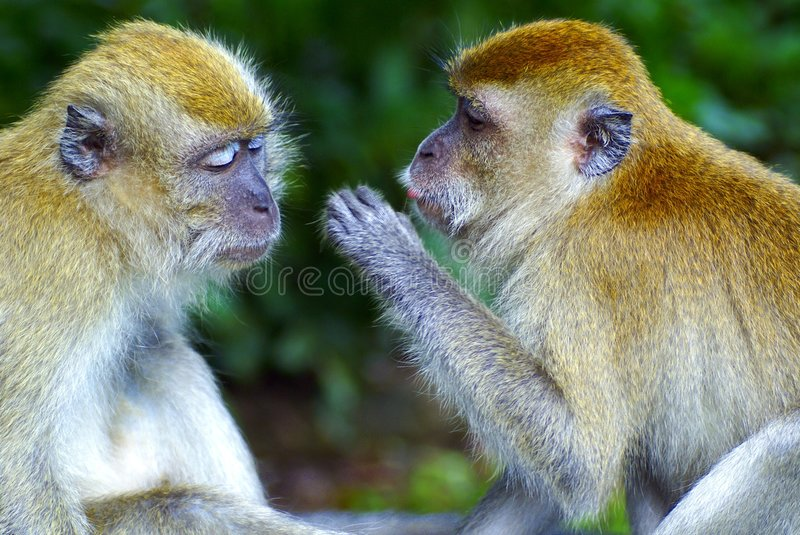 Monkeys whispering secrets royalty free stock images