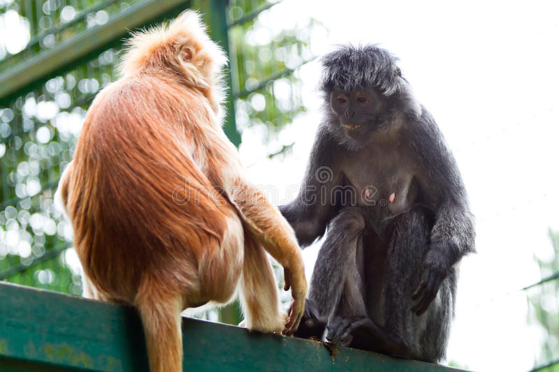 Monkeys in the zoo royalty free stock images