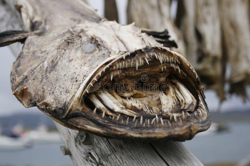 Monkfish sec photos stock