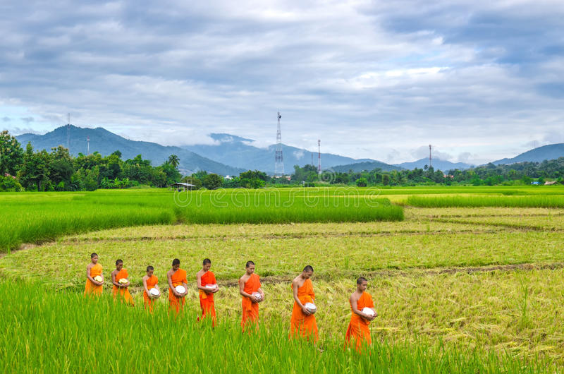 Monks walking in the rice field, Chiangmai, Thailandorniong royalty free stock photo