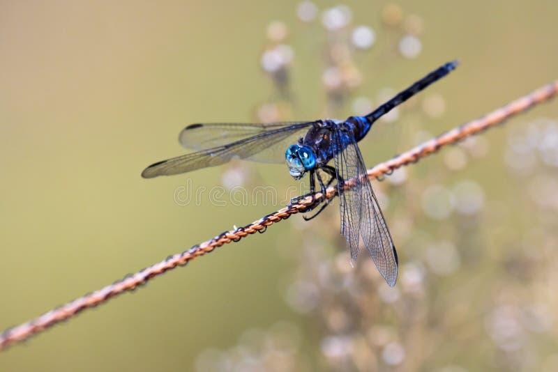 Monkshood Dropwing Dragonfly stock photography