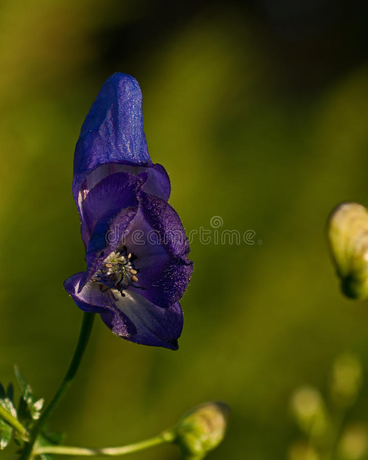 Monkshood, planta venenosa fotos de stock