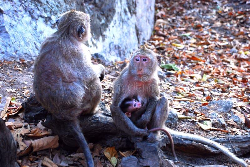 Monky immagine stock