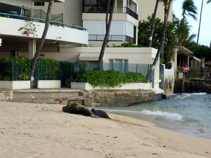 Monnik Seal en Baby die in de zon op Kaimana-Strand zonnebaden stock fotografie