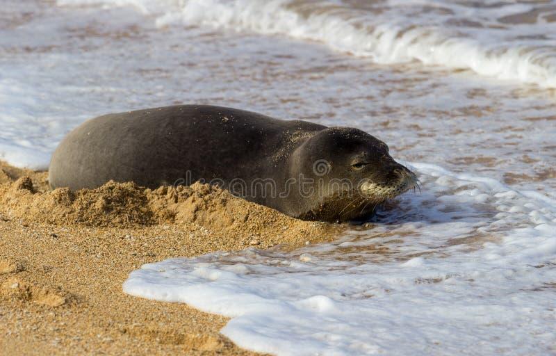 Monnik Seal op Tunnelsstrand Kauai stock afbeeldingen
