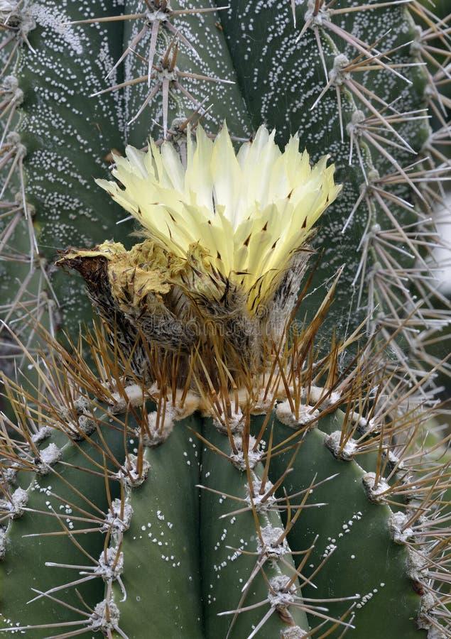 Monniks` s Kap of de Cactus van de Bischop` s Hoed royalty-vrije stock foto