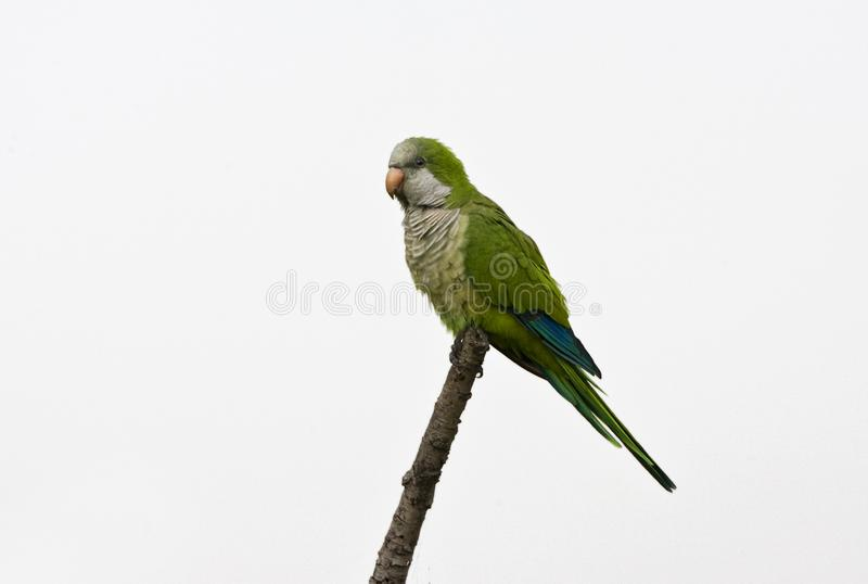Monniksparkiet, monge Parakeet, monachus de Myiopsitta imagem de stock