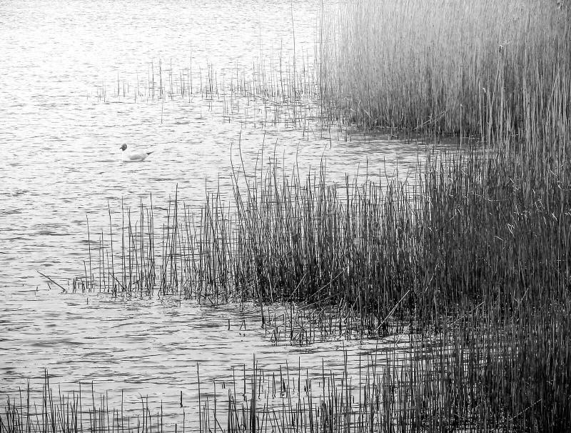 Mono вода и тростники стоковая фотография