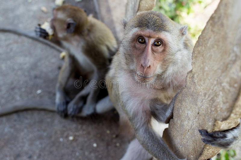 Download Mono foto de archivo. Imagen de tailandés, safari, primer - 64204404