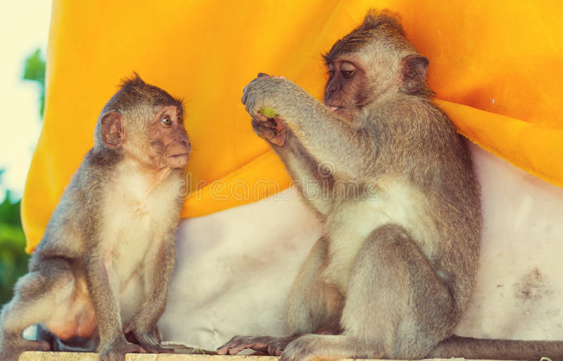 Download Mono imagen de archivo. Imagen de fauna, recorrido, tailandia - 64207299