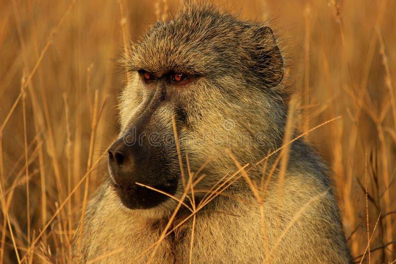 Mono africano del babuino foto de archivo libre de regalías