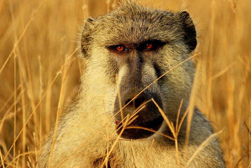 Mono africano del babuino fotografía de archivo