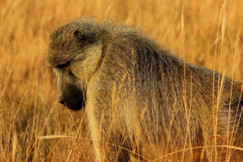 Mono africano del babuino imagen de archivo libre de regalías