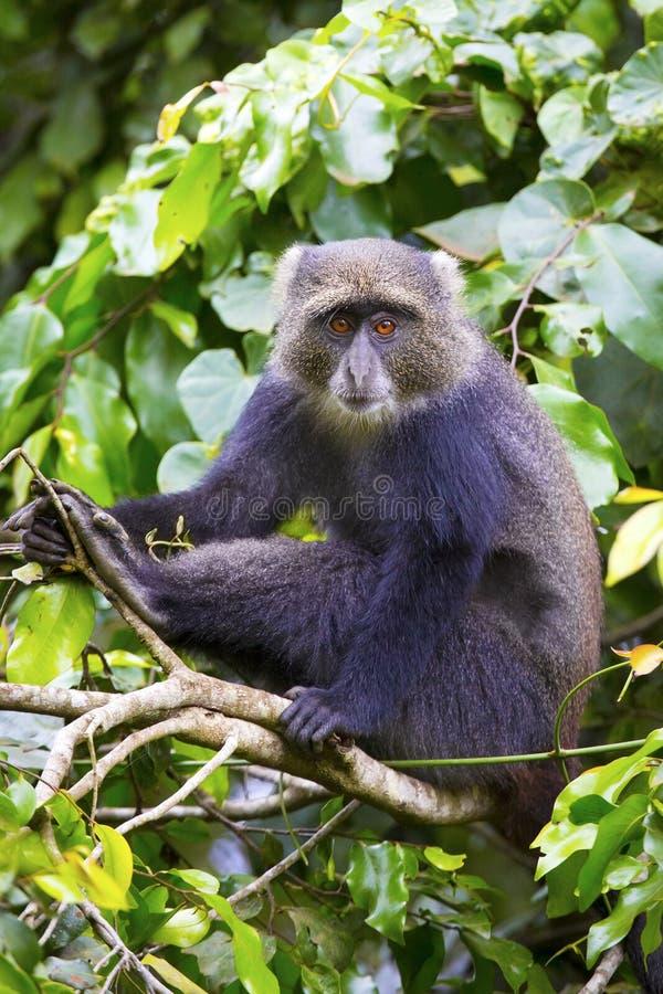 Mono azul que se sienta en árbol imágenes de archivo libres de regalías
