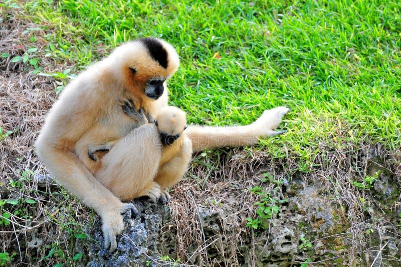 Mono blanco-cheeked de Gibbon con el bebé imagen de archivo