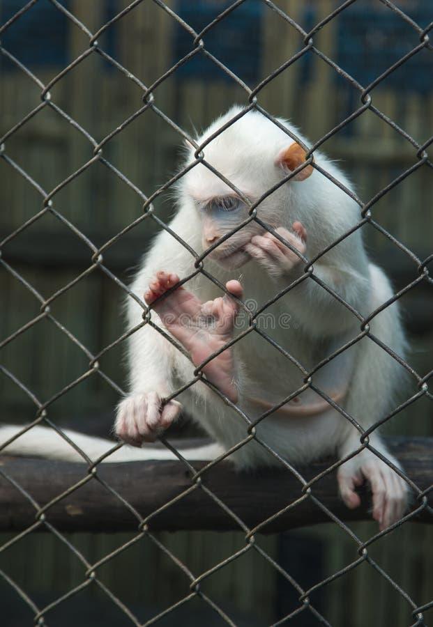 Mono blanco que piensa en una jaula detrás de barras fotografía de archivo libre de regalías
