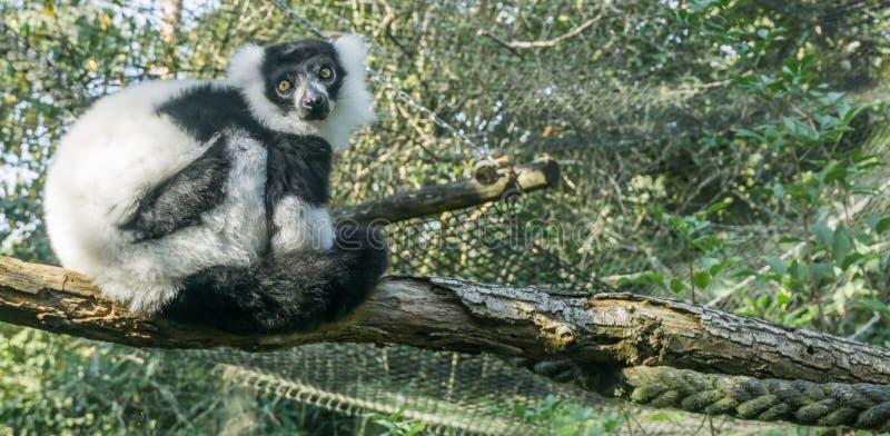 Mono blanco y negro superado hermoso del lémur que se sienta en un árbol en una rama que mira hacia el animal muy lindo po del pr imagenes de archivo