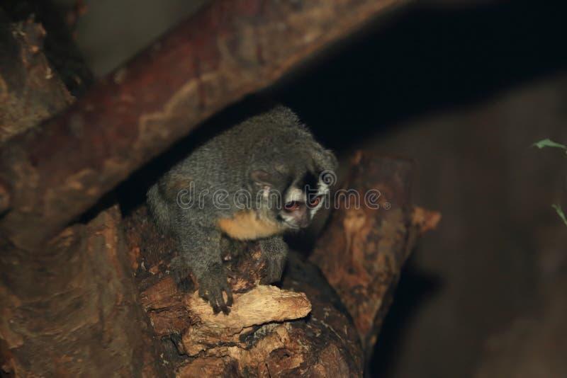 Mono boliviano de la noche fotos de archivo
