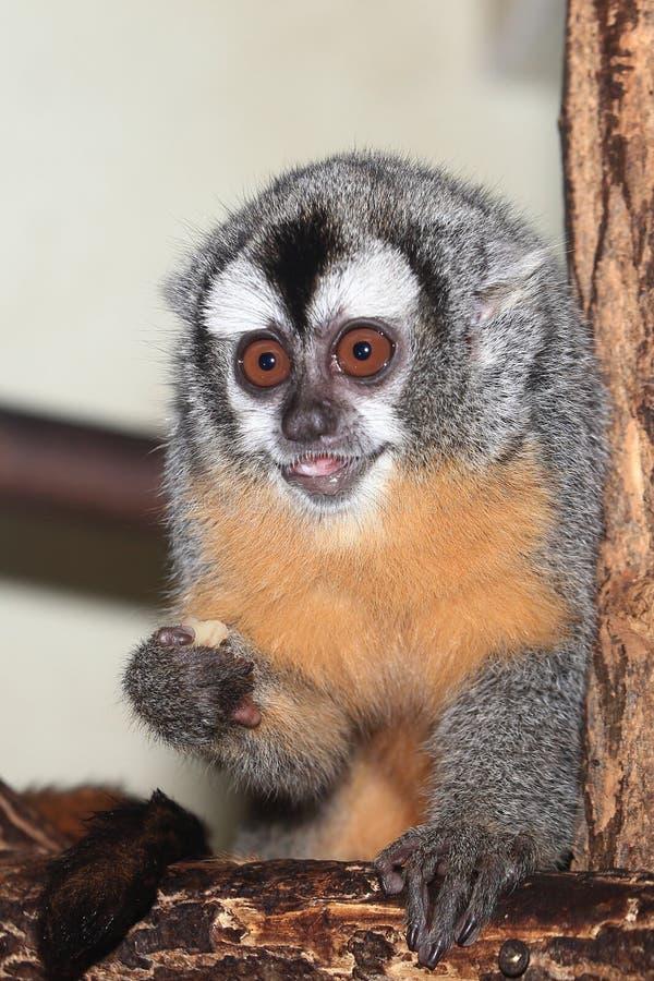 Mono boliviano de la noche imagenes de archivo