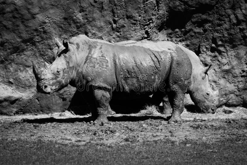 Mono close-up de comer do rinoceronte dois branco fotos de stock royalty free
