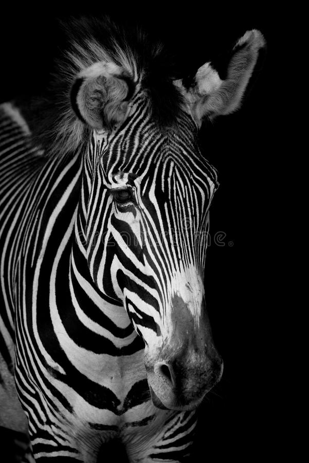 Mono close-up of Grevy zebra looking forwards stock image