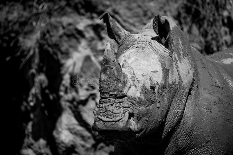 Mono close-up of muddy white rhinoceros staring royalty free stock photo