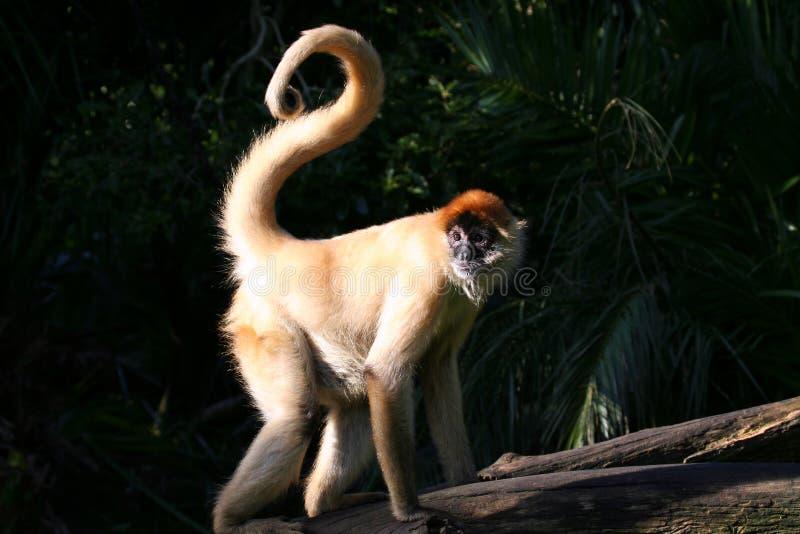 Mono con la cola rizada fotos de archivo libres de regalías