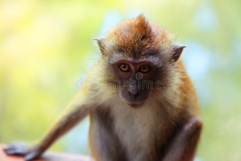 Mono con los ojos amarillos y la cara llena del pelo rojo en un fondo verde foto de archivo