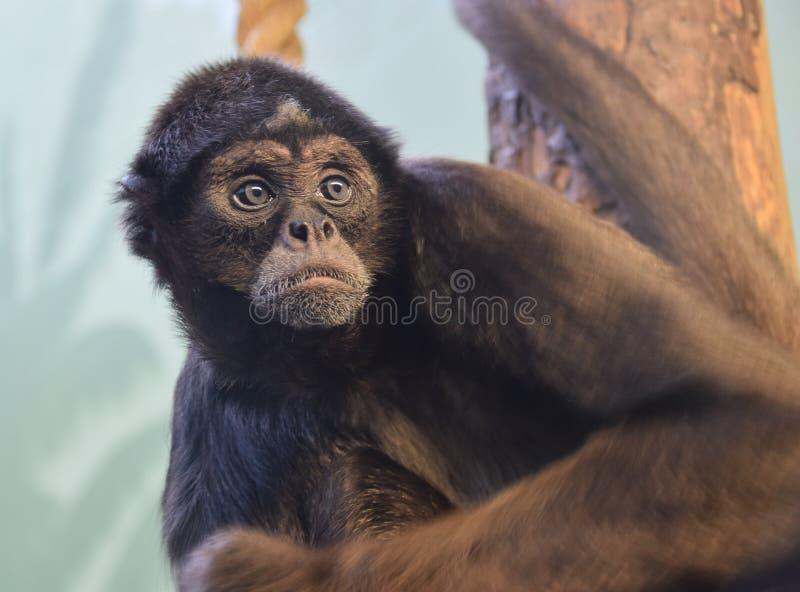 Mono de araña fotografía de archivo libre de regalías