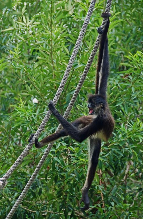 Mono de araña en la cuerda #2 fotografía de archivo libre de regalías