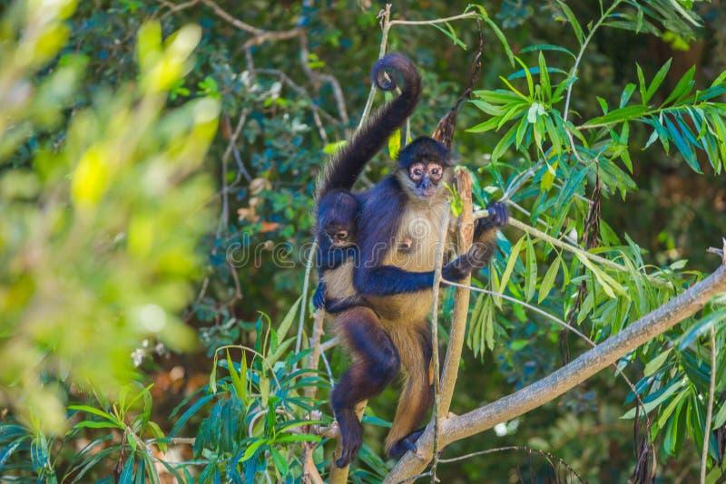 Mono de araña méxico foto de archivo