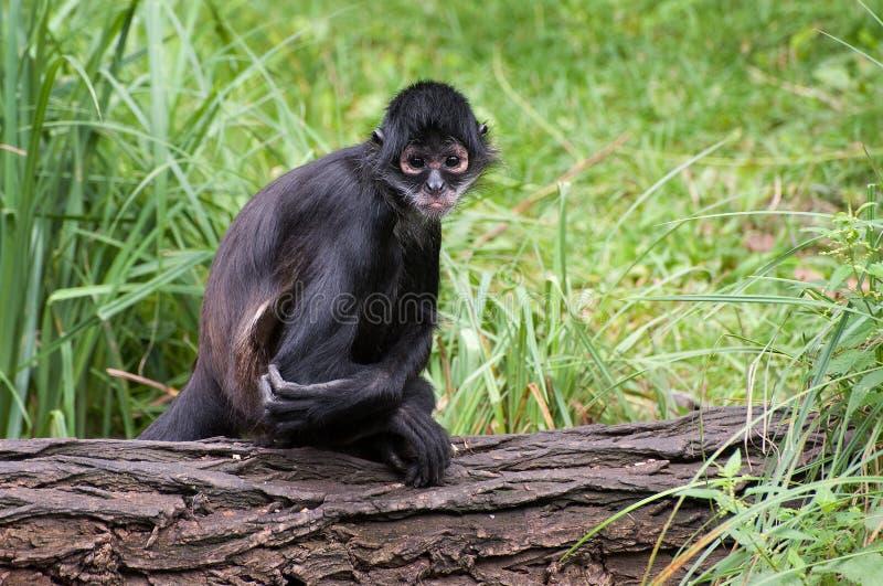 Mono de araña mexicano imagen de archivo libre de regalías