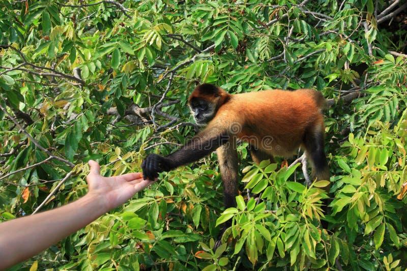 Download Mono de araña Negro-dado foto de archivo. Imagen de mano - 44851150