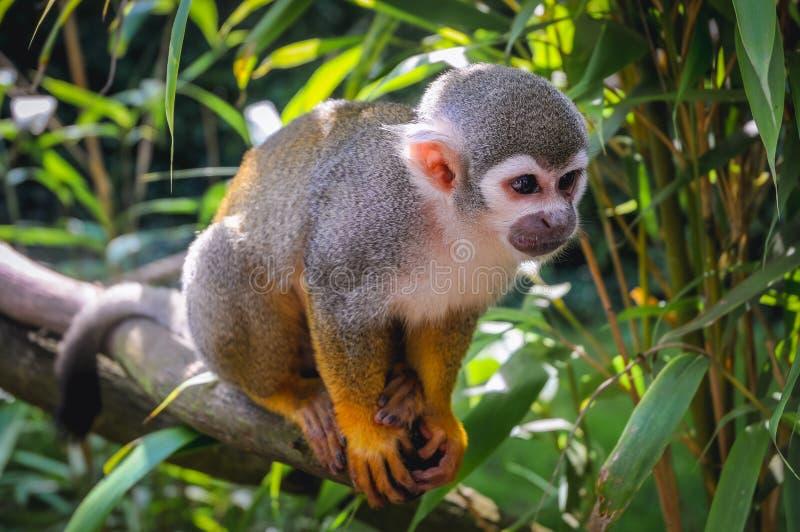 Mono de ardilla común imagen de archivo