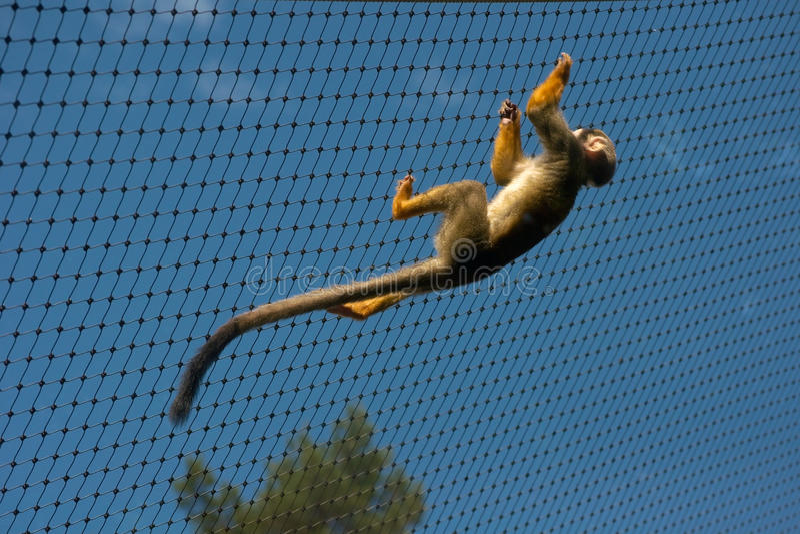 Mono de ardilla común enjaulado foto de archivo