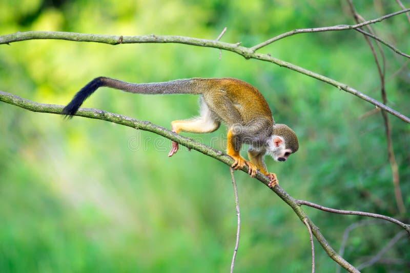 Mono de ardilla común que camina en una rama de árbol imagen de archivo