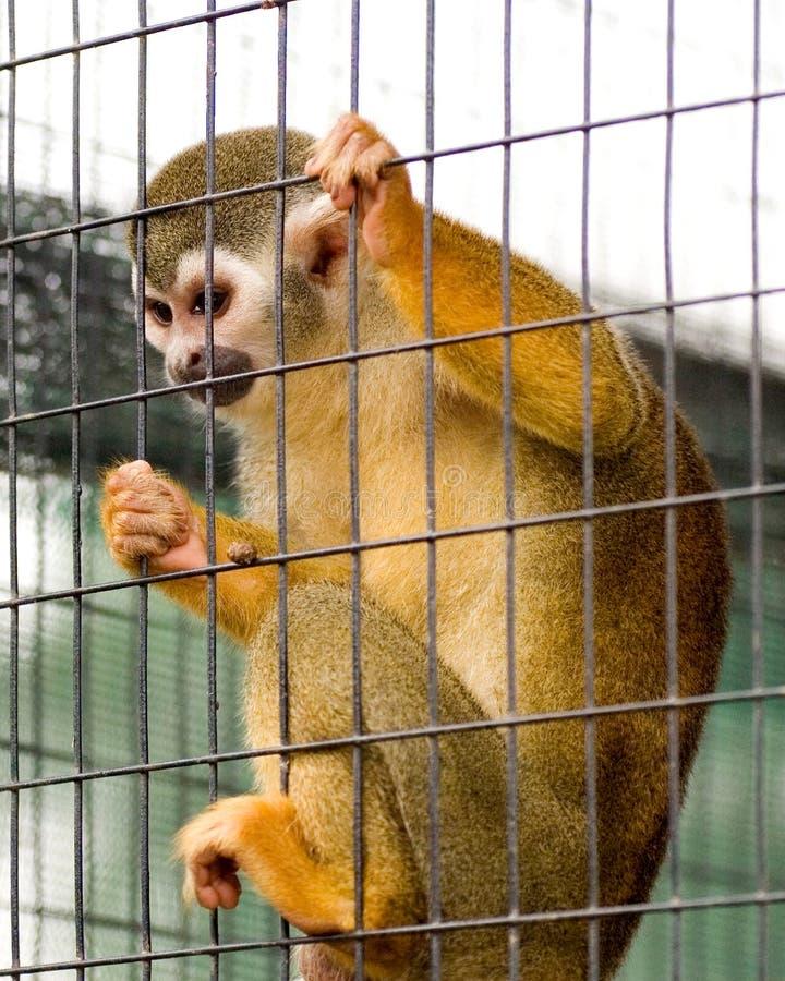 Mono de ardilla enjaulado fotografía de archivo