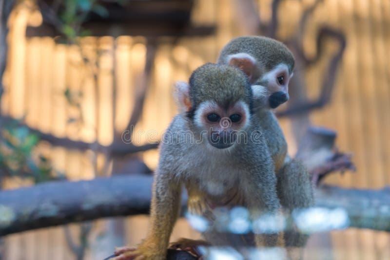 Mono de ardilla o sciureus común del Saimiri del mono de ardilla fotografía de archivo