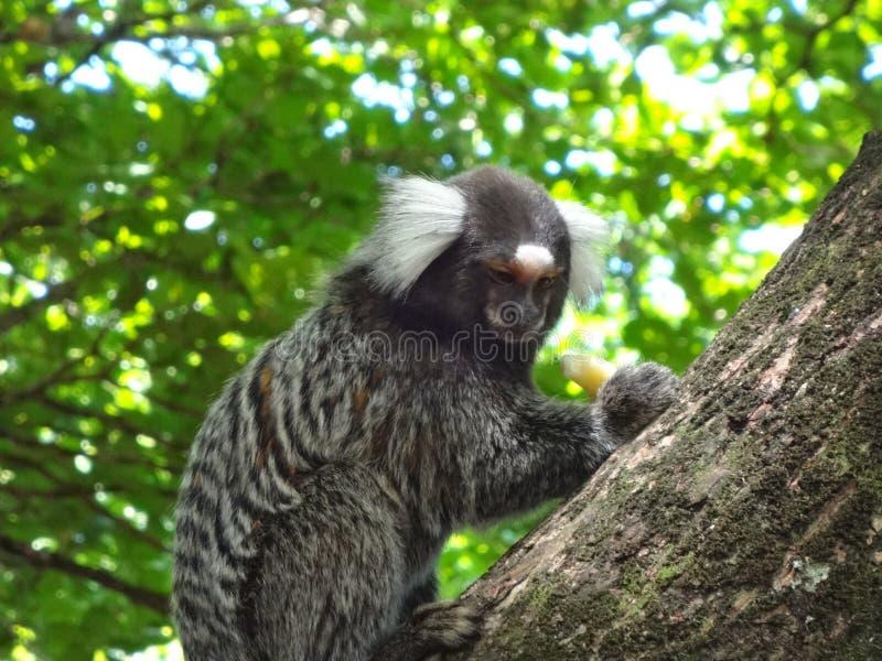 Mono de Callitrichinae imagenes de archivo