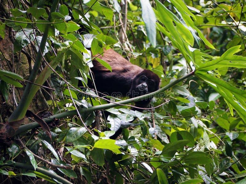 Mono de chillón cubierto imagen de archivo