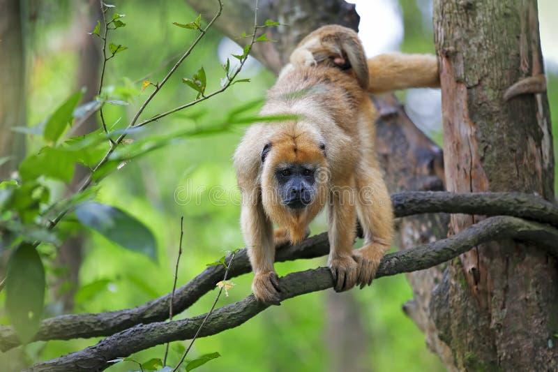 Mono de chillón cubierto imagenes de archivo