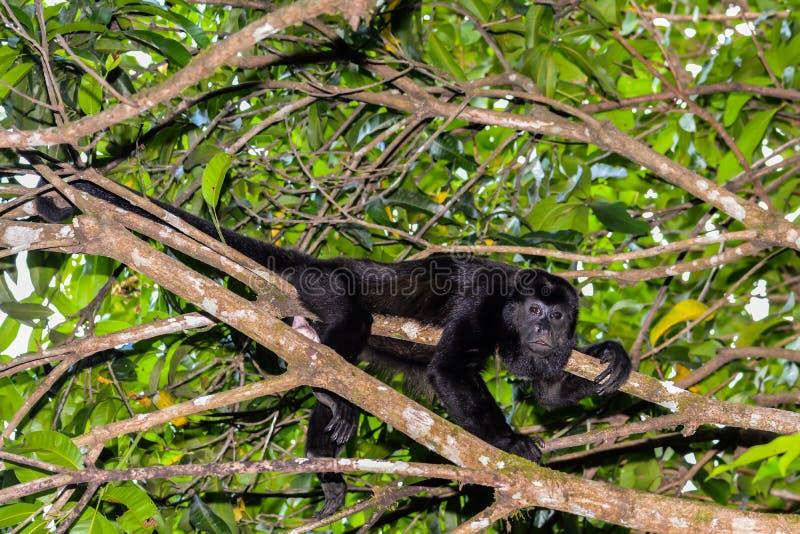 Mono de chillón cubierto imagen de archivo libre de regalías