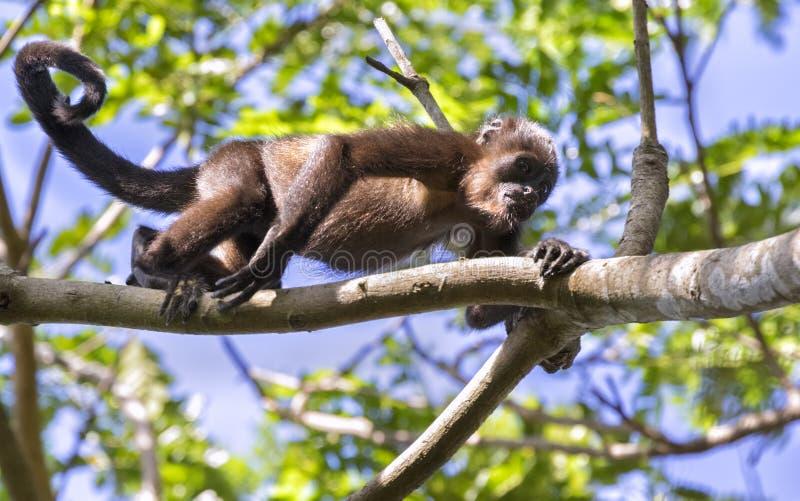 Mono de chillón cubierto joven fotografía de archivo