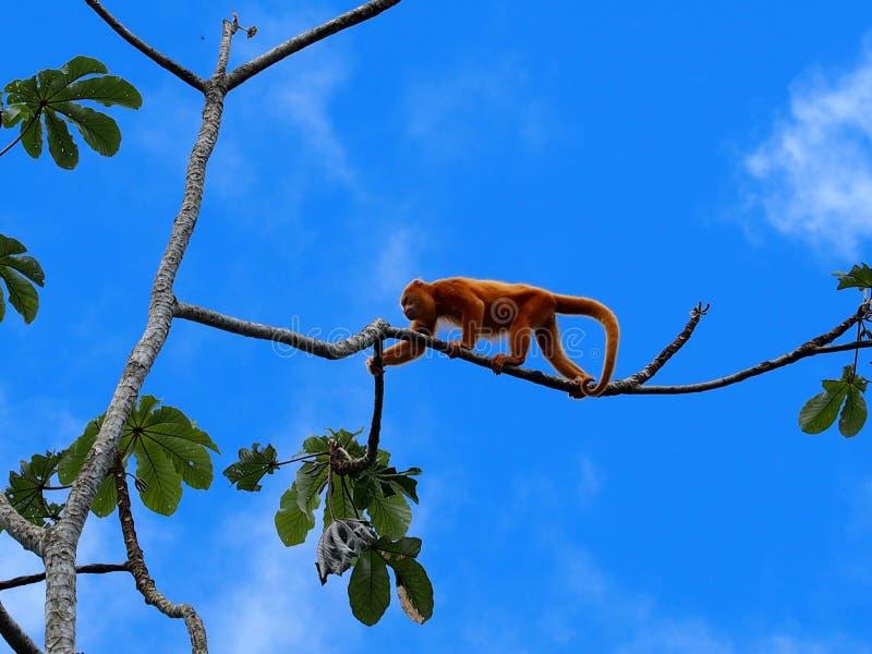 Mono de chillón en Costa Rica imagen de archivo libre de regalías