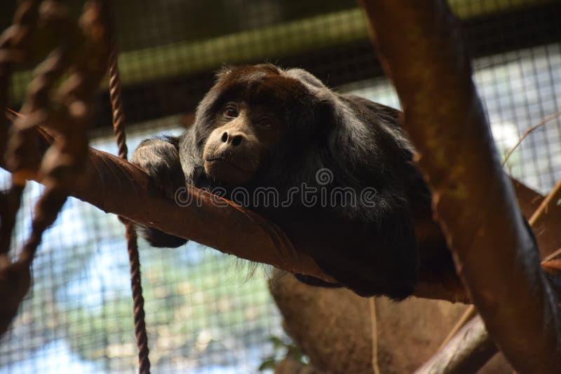 Mono de chillón negro (caraya del Alouatta) fotos de archivo